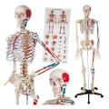 Mô hình bộ xương người 1.75m