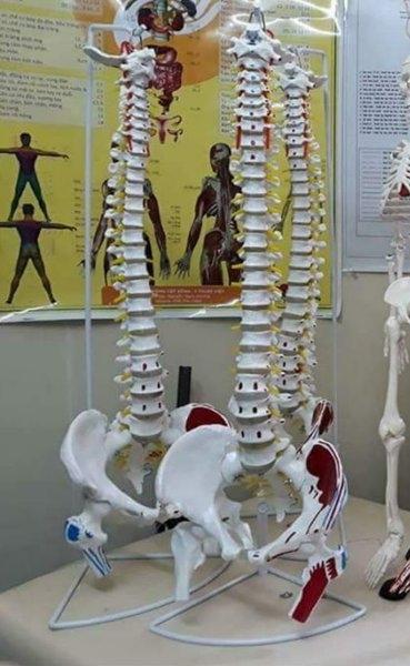Mô hình cột sống 2 màu 85cm