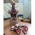 Mô hình Giải phẫu nội tạng 55cm