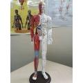 Mô hình huyệt vị người - Tượng Kinh Lạc 65cm