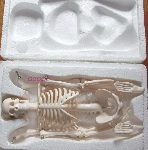 Mô hình bộ xương người 45cm