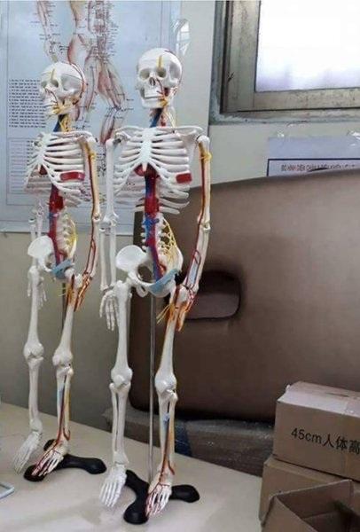 Mô hình xương giải phẫu dây Thần Kinh Mạch Máu 85cm