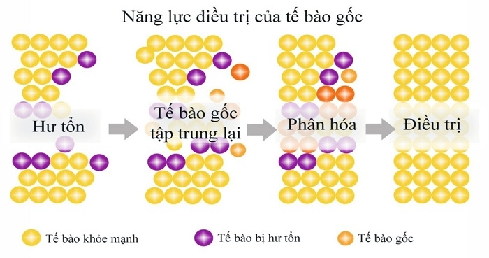 Những khả năng của tế bào gốc